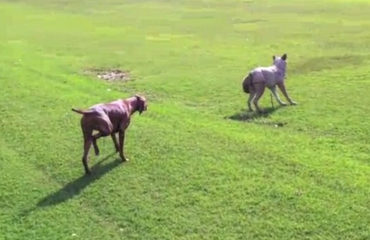 Dog Hunts Wolf